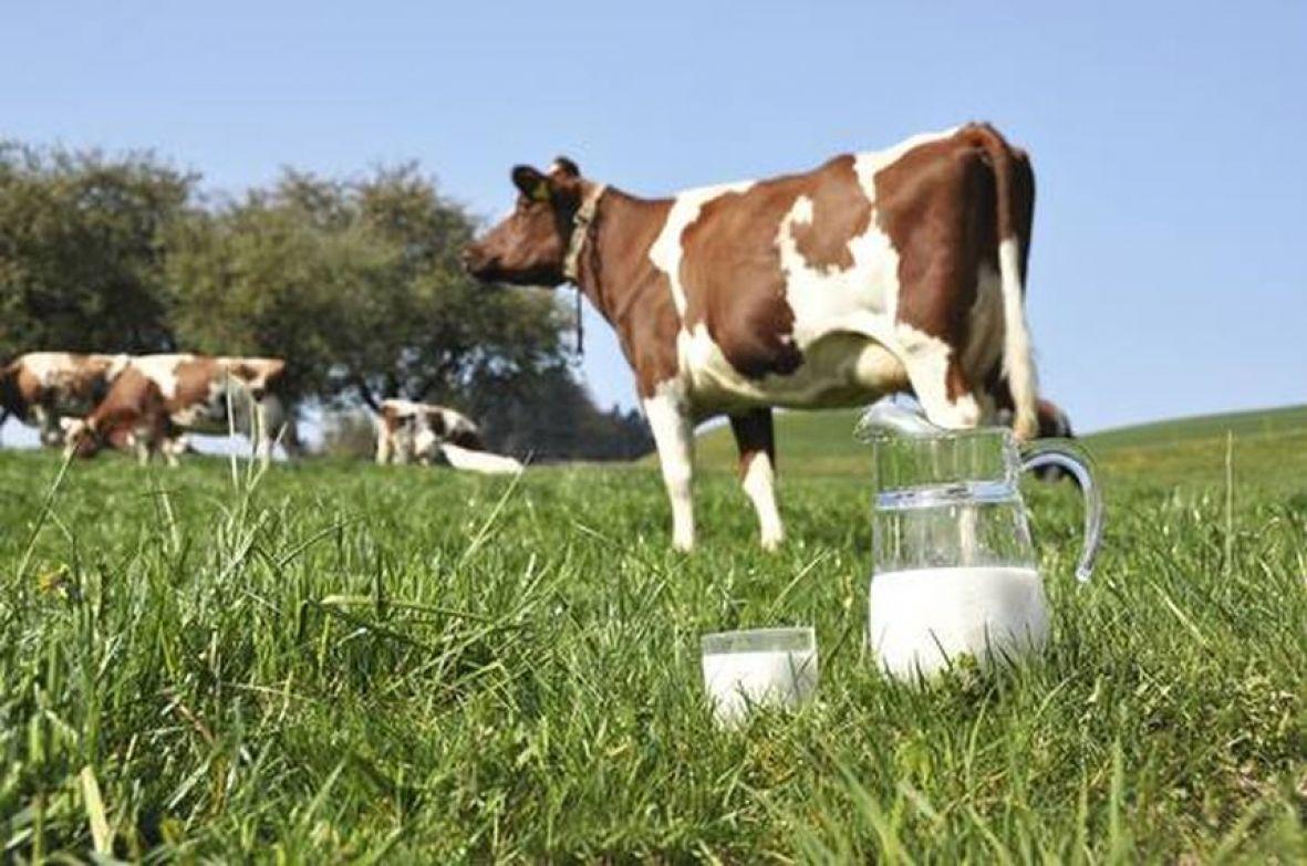 Proizvodnja mlijeka u USK manja za 1,5 miliona litara